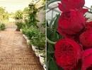 Ông bố 8X sở hữu vườn hồng rực rỡ 1000m2