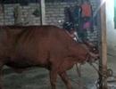 Úc khẳng định vẫn cấm xuất khẩu bò cho một số doanh nghiệp VN