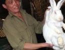 Từ tay trắng sau ra tù thành triệu phú nhờ... nuôi thỏ
