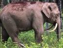 Chú voi có cặp ngà không giống ai