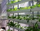 Dân thành thị bỏ ra gần chục triệu để trồng rau sạch từ xơ dừa