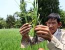 Thương lái giành mua lúa vừa gieo sạ để xuất sang Trung Quốc?
