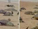 Rùa chết hàng loạt trên bãi biển Ấn Độ