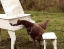 Gà trổ tài đánh đàn piano siêu đỉnh