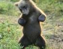 Không nhịn được cười cảnh chú gấu khoe kỹ năng nhảy điêu luyện