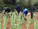 Cao Bằng phát hiện vườn thuốc phiện hơn 3.000 cây