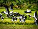 Đàn chim lạ hàng trăm con xuất hiện trên thượng nguồn sông Hồng