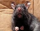 Paris khốn đốn vì chuột