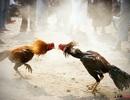 Bắt hung thủ giết người do mâu thuẫn tại trường gà