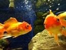 Kỳ lạ điều luật phạm pháp nếu nuôi một con cá vàng