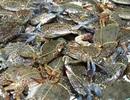 Lại phát hiện mẫu cá, ghẹ tại Hà Tĩnh nhiễm phenol, xyanua