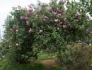 Chiêm ngưỡng cây hoa hồng cổ ở Sa Pa nở hoa rực rỡ