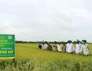 Quy trình sử dụng Phân bón Phú Mỹ hợp lý cho cây lúa vùng xâm nhập mặn đạt hiệu quả cao