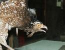Hà Nội: Chim đại bàng được dân làng ướp xác, trông giữ suốt 13 năm
