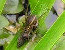 Hàng trăm con nhện khổng lồ được phóng sinh tại Anh