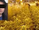 Một người Việt bị phạt 7 năm tù vì trồng cần sa ở Đức