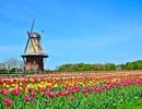 Nhớ mùa hoa Tulip