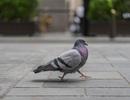 Chim bồ câu giúp các nhà nghiên cứu theo dõi ô nhiễm chì