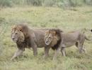 Sư tử cái có bờm và cách hành xử giống con đực