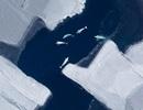 Suy giảm băng Bắc cực làm ảnh hưởng đến tập quán di cư của cá voi