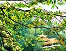 144 cây tại Yên Tử được công nhận là Cây Di sản Việt Nam
