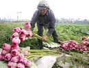 Trồng sen: Cứ 3-5 ngày lại được thu hoạch, lãi gấp đôi trồng lúa