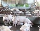 """Thương lái Trung Quốc đang """"ráo riết"""" thu mua lợn Việt Nam"""