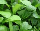 Rau sạch vườn nhà: Lưu ý khi trồng loại rau họ cải