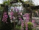 Thưởng thức sắc hoa phong lan trên đất Thành Đông