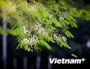 Hà Nội ngập tràn lãng mạn trong màu hoa sưa thanh khiết