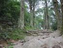 Tìm phương án cứu cây Xích Tùng 700 năm tuổi bị bão số 1 quật đổ