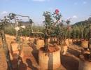 Đỗ quyên đại thụ, hồng cổ Sa Pa có giá hàng trăm triệu đồng