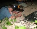 """Rùa biển có khả năng quay về nơi """"chôn nhau cắt rốn"""" để duy trì nòi giống"""