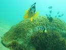 Hải quỳ và cá hề - nguồn lợi quý cần được quản lý, bảo tồn ở Cù Lao Chàm