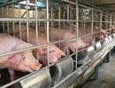 Quản lý kháng sinh trong chăn nuôi phải cả hệ thống chính trị vào cuộc