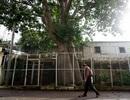 Ngắm cây Bao báp lâu đời nhất Sài Gòn vào mùa nở hoa