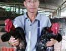 Bỏ ra 230 triệu đầu tư nuôi gà vua chân voi, lãi 35 triệu/tháng