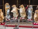 Gánh xiếc bị điều tra vì để sư tử… béo phì