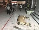Người dân mang bò chết lên vây chung cư