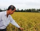 Mô hình cánh đồng lúa - tôm sạch: Cơ hội làm giàu ở vùng nhiễm mặn