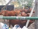 Hàng chục con bò thả rông trong thành phố bị gom về trụ sở phường