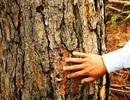 """Điều tra vụ bơm thuốc diệt cỏ """"đầu độc"""" hàng trăm cây thông ở Đà Lạt"""