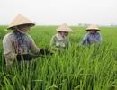Làm lúa sạch, khó nhưng lãi gấp đôi lúa truyền thống