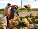 Kiệu tăng giá gấp đôi, nông dân vớt vát kiếm tiền tiêu Tết