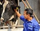 Lên Mộc Châu xem nông dân chăn nuôi bò sữa và bảo vệ môi trường