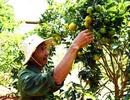 Cam canh đặc sản Hà Nội trĩu quả ở Lâm Đồng  Kinh tế