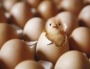 """Kỳ lạ nghệ sĩ quyết """"ấp trứng""""… thành gà"""