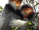 Lên núi Sơn Trà, ngắm loài linh trưởng quý hiếm có nguy cơ tuyệt chủng