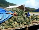 Quảng Nam: Thơm trái vụ rộn ràng vào mùa Tết