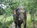 Đưa voi rừng đi phối giống với voi nước khác